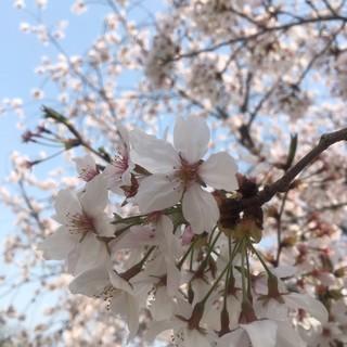 お花見🌸_180403_0003.jpg